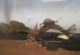 Frog-Siblings